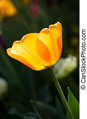 цвет, тюльпан, желтый, природа