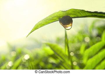 чай, природа, зеленый, концепция, фото