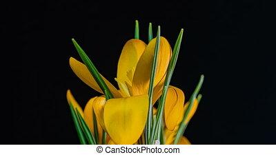 черный, timelapse, background., цветок, 4k., желтый, ...