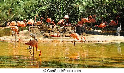 чилийский, flamingos