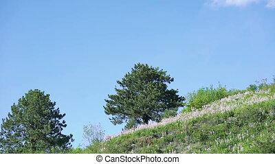 чисто, небо, против, dittany, холм, (dictamnus, albus)