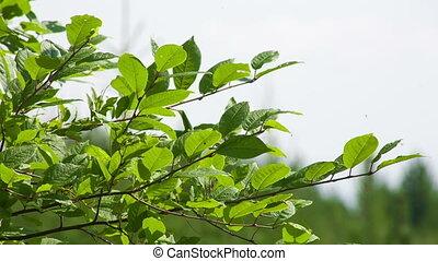 широкий, выстрел, вишня, leaves, динамический, ассортимент, крупным планом, summer., сырье