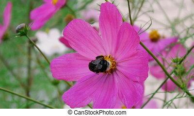 шмель, космос, цветок, pollinating