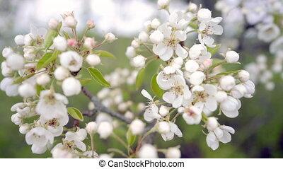 яблоко, весна, легкий, дерево, филиал, blooming, wind.