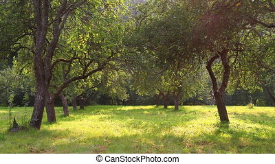 яблоко, сад, лето