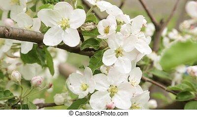 яблоко, close-up., цветение, цветы, shaking, wind.