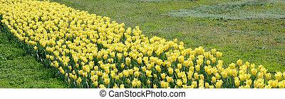 яркий, красочный, желтый, время, весна, blossoms, тюльпан