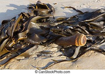 אוסטרליה, גלילי, (bullwhip, להראות, התרחץ, stipe, טזמניה, אצה, לחוף, שור, kelp)