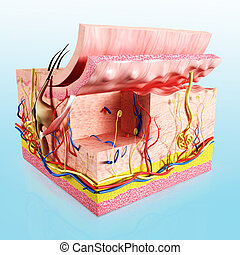 אנטומיה, רובד, עור אנושי
