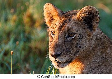 אריה, צעיר