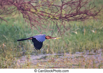 גאנה, keoladeo, melanogaster), לטוס, bharatpur, חנה, (...