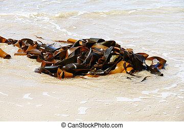 גדול, אצה, (seaweeds), ארוז