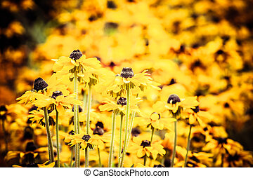 גן, סוזאן, צהוב, מואר, שחור, הבט, פרחים, או, רודבקיה
