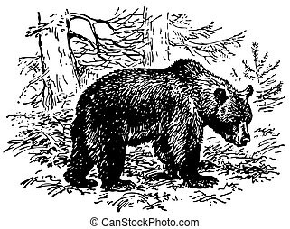דוב חום