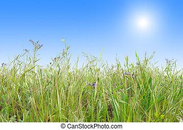 דשא ירוק, עם, כחול, בהיר, שמיים