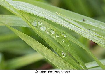 דשא, להב, , השקה, קרוב, ירידות