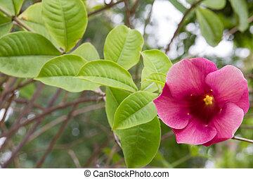 היביסקוס, אדום, flower.
