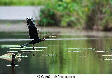 השקה, melanogaster), כנפיים, (anhinga, חצים, לשבת, צהוב, ...