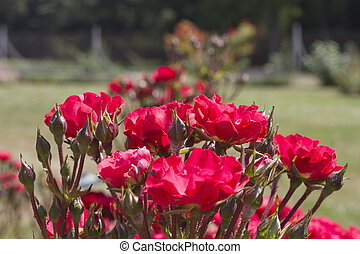 ורדים, גן, אדום