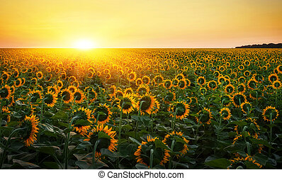 זהוב, חמנית, מורכב, תחומים, מעל, תחום צהוב, דיגיטלי, במשך, sunset., עלית שמש, sunflowers.