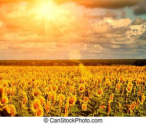 זהוב, טבעי, תחומים, חמנית, קיץ, שמש, מעל, נוף