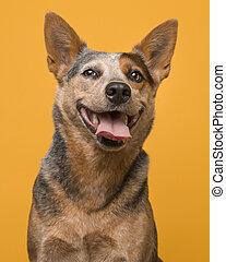 זקוף, גדול, ישר, כלב, צהוב, להסתכל, מצלמה, רקע, בקר, דמות, חייך, אוסטרלי