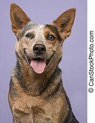 זקוף, סגול, גדול, ישר, כלב, להסתכל, מצלמה, רקע, בקר, דמות, חייך, אוסטרלי, דמות
