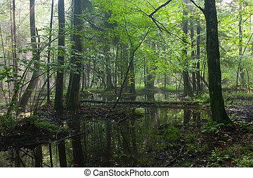 יער, קיץ, רטוב, bialowieza, עלית שמש, עמוד