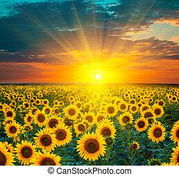 יפה, זהוב, חמנית, מורכב, תחומים, מעל, תחום צהוב, במשך, sunset., עלית שמש, sunflowers.