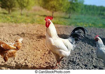 יפה, צילום, תרנגול