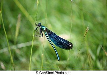 יפה, שפירית, בנזין, להב, ירוק כחול, דשא