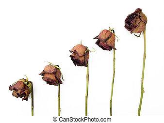 ישן, נגד, חושך, ורדים, 5, יבש, רקע, אדום, שיט