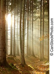 כוניפאראוס, אור שמש, יער