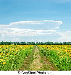 כחול, עננים, מעל, תחום של שמיים, חמניות, דרך