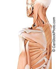 כתף, שרירים