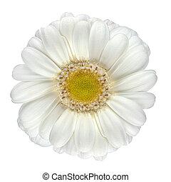 מושלם, פרח לבן, הפרד, גרברה