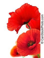 מעל, רקע., white., פרחוני, פרג, פרחים, אדום
