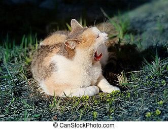 מקרו, לפהק, צילום, חתול