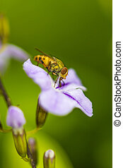 סגול, זבובים, flower(drosophila, melanogaster), קטנטן