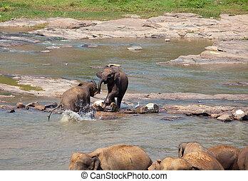 סרי לנקה, פילים