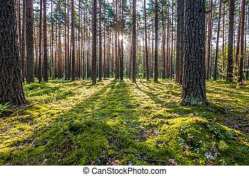 עלית שמש, יער, דאב
