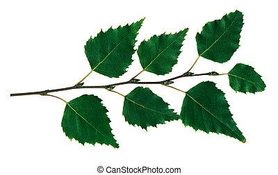 ענף, ליבנה