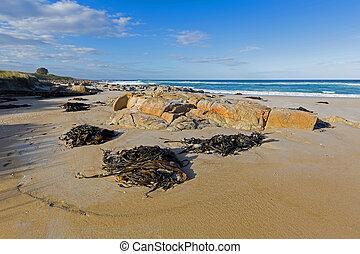 ענק, (bullwhip, שור, התרחץ, אצה, לחוף, הרבה, kelp)
