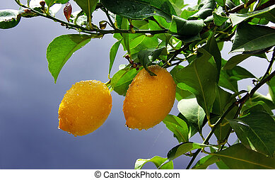 עץ, צהוב, לימונים