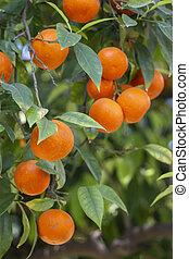 עץ של תפוז, פירות