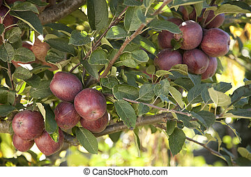 עץ, תפוח עץ, אדום
