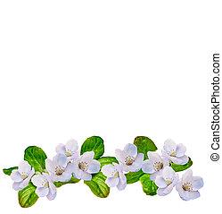 פרחים לבנים, תפוח עץ, ענף