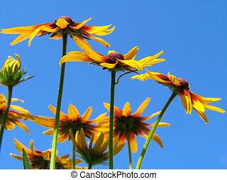 פרחים, של, gailardia, כחול, ב, שמיים, רקע