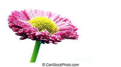 פרח ורוד, הפרד, white., חיננית, טרי