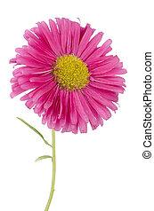 פרח ורוד, חיננית